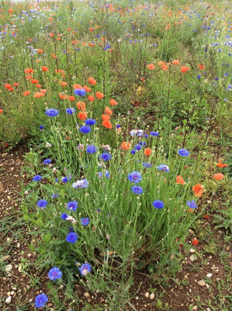 Blumenwiese in Freiham